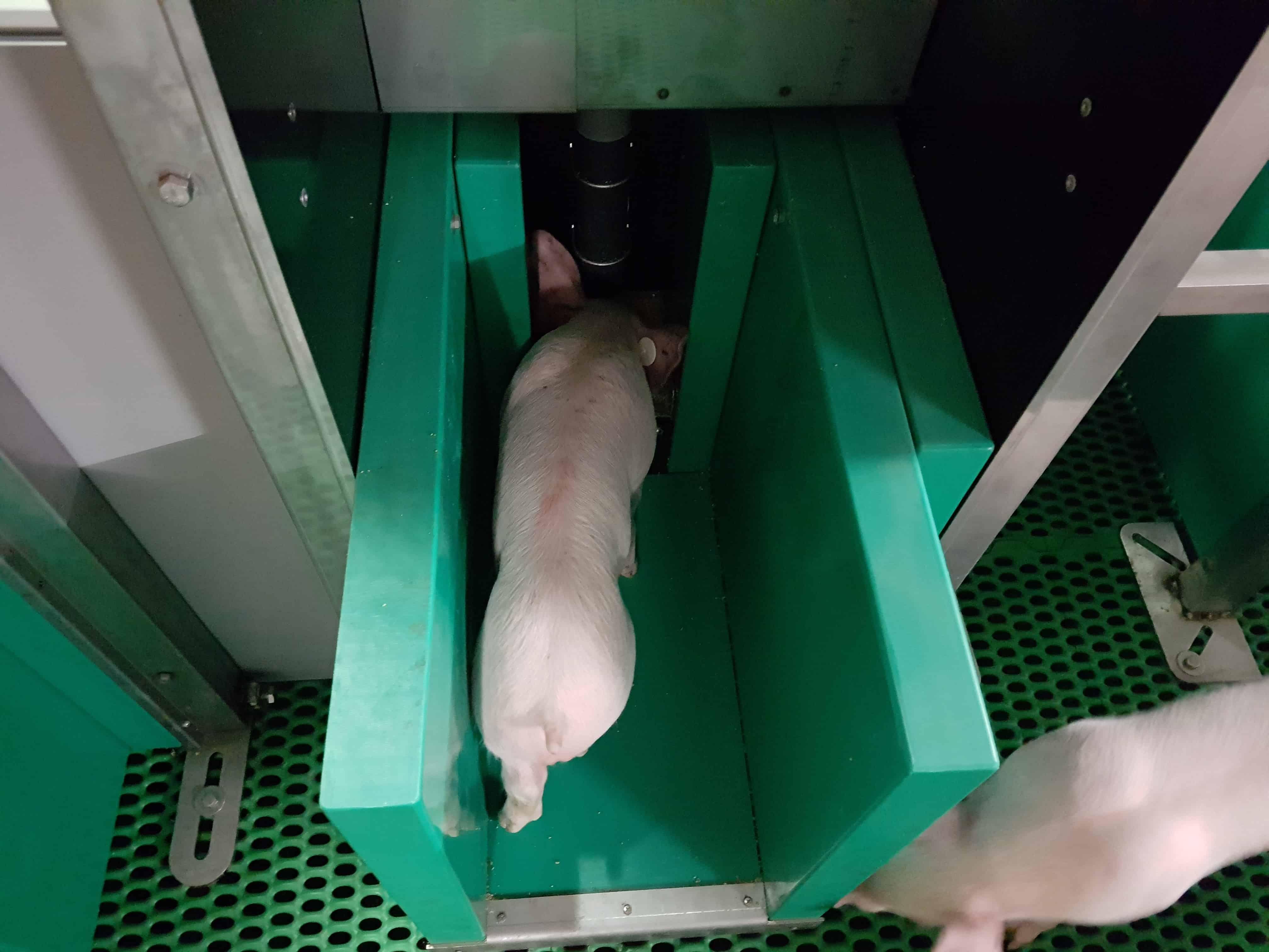 Pig-insight - détection précoce des pathologies - Asserva