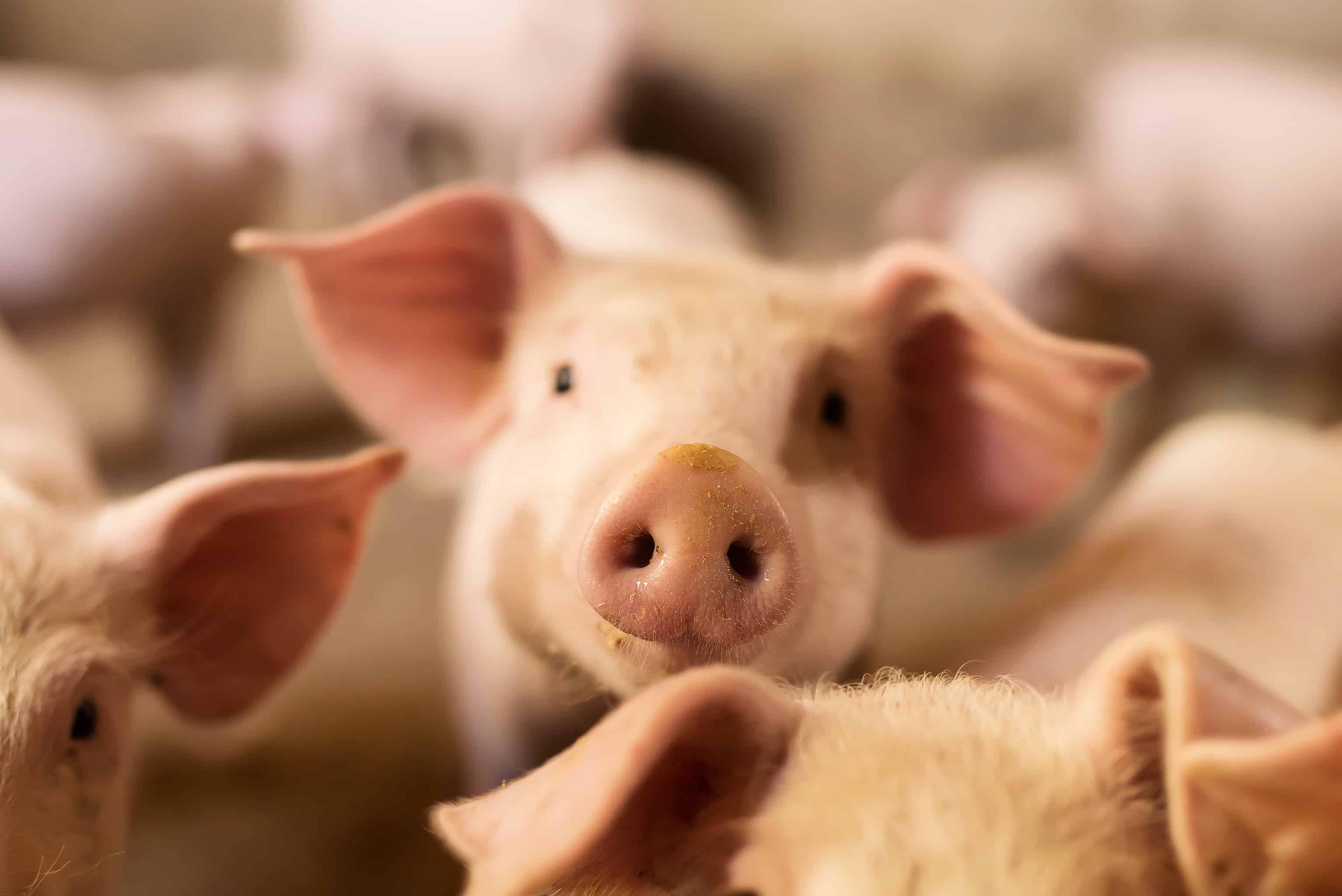 pig- porcs